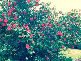thecedars interesting flowers roses bush