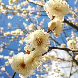 japan shiga plumblossom blue bluesky