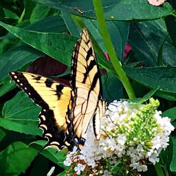 travelmemories freetoedit butterflies newjersey princetonuniversity dpcinsects dpcbutterfly